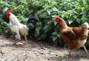 Rotstalden 3, Hühner